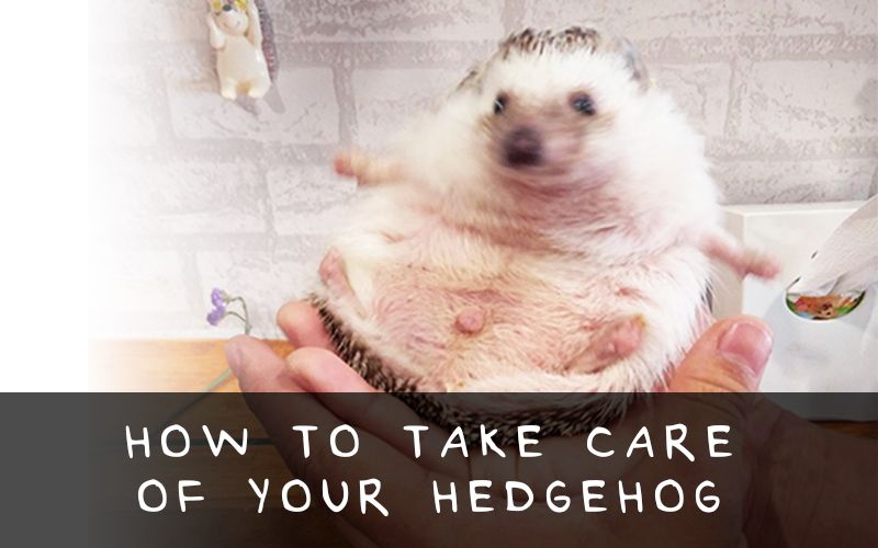 hedgehogs how to take care for